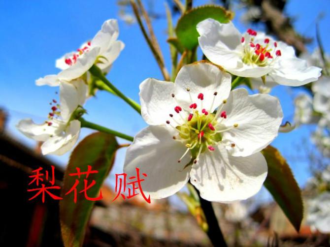 【荷塘】梨花赋(散文)